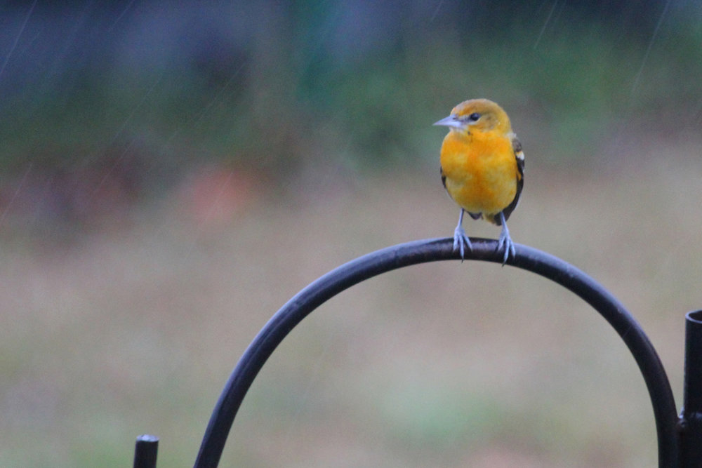 Baltimore Oriole / 13 Jan / Windsor Woods (Private Residence)