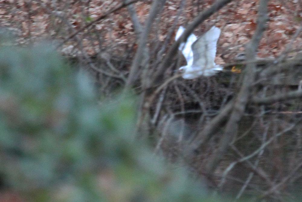 Snowy Egret / 14 Jan / Wishart Lake