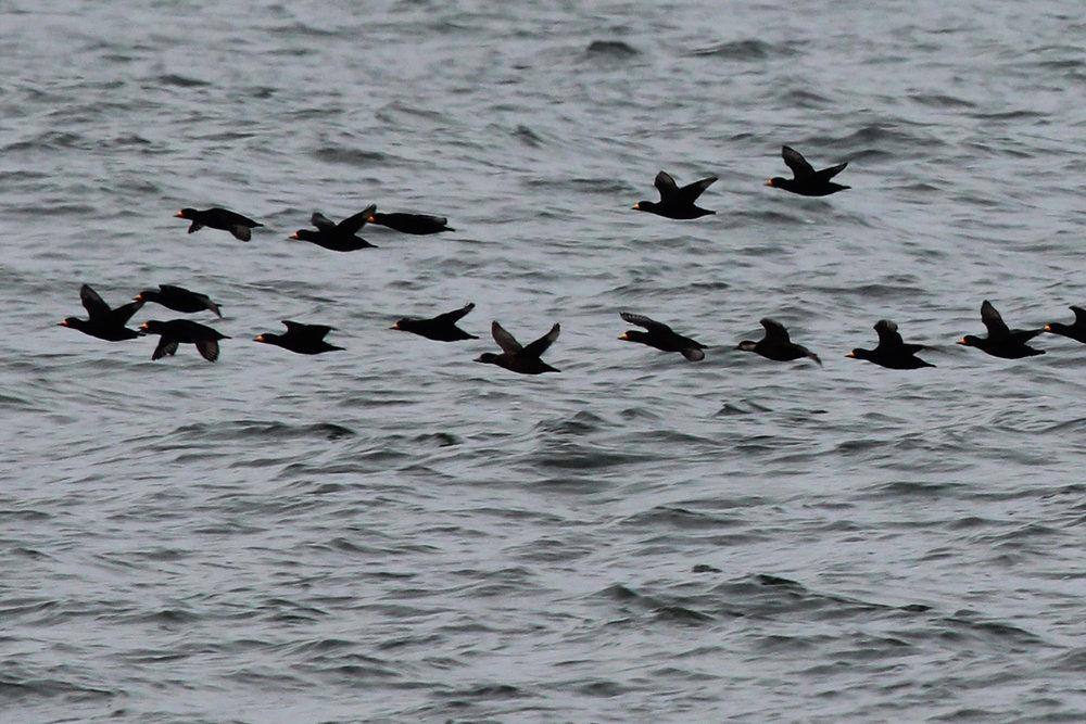 Black Scoters / 12 Jan / Offshore Oceanfront