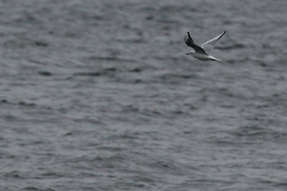 Bonaparte's Gull / 12 Jan / Offshore Oceanfront