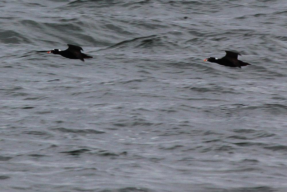Surf Scoters / 12 Jan / Offshore Oceanfront