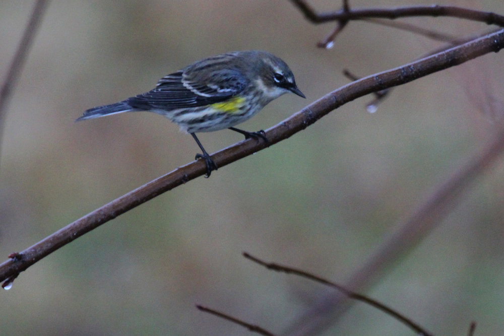 Yellow-rumped Warbler (Myrtle) / 13 Jan / Windsor Woods (Private Residence)