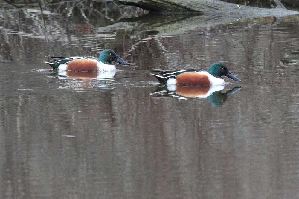 Northern Shovelers / 12 Jan / Stumpy Lake NA
