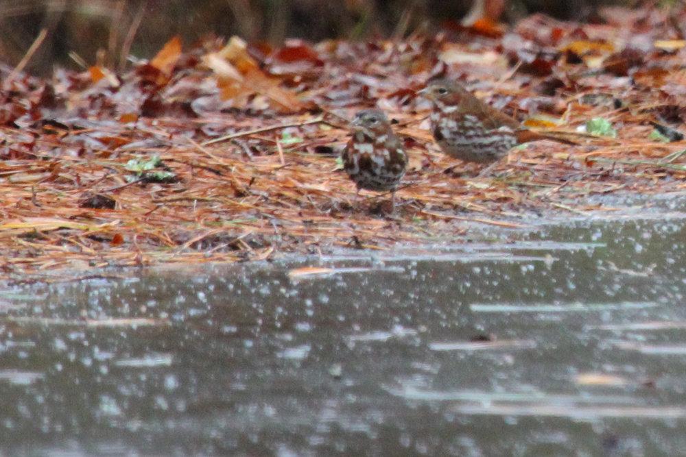 Fox Sparrows (Red) / 13 Jan / Blackwater Loop