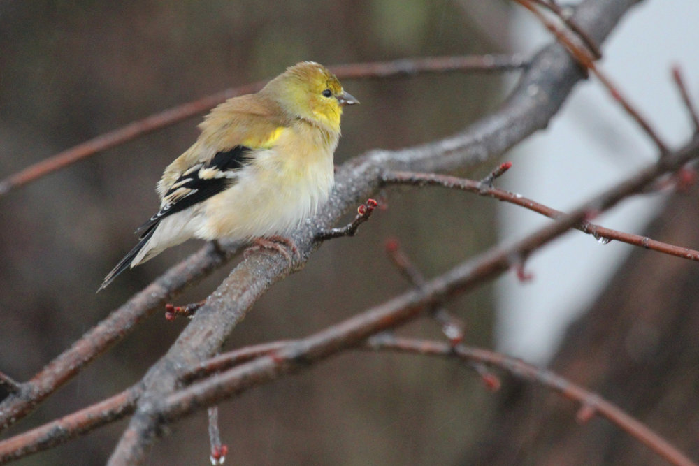 American Goldfinch / 13 Jan / Windsor Woods (Private Residence)