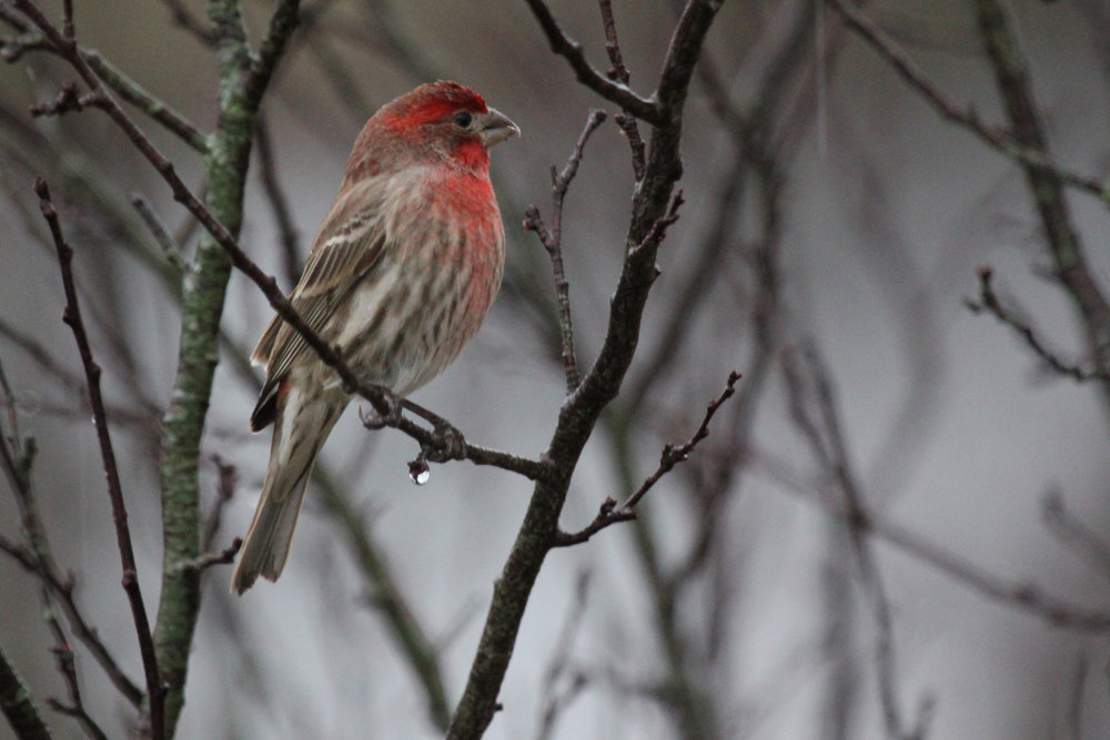 House Finch / 13 Jan / Windsor Woods (Private Residence)