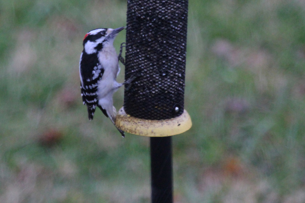 Downy Woodpecker / 13 Jan / Windsor Woods (Private Residence)
