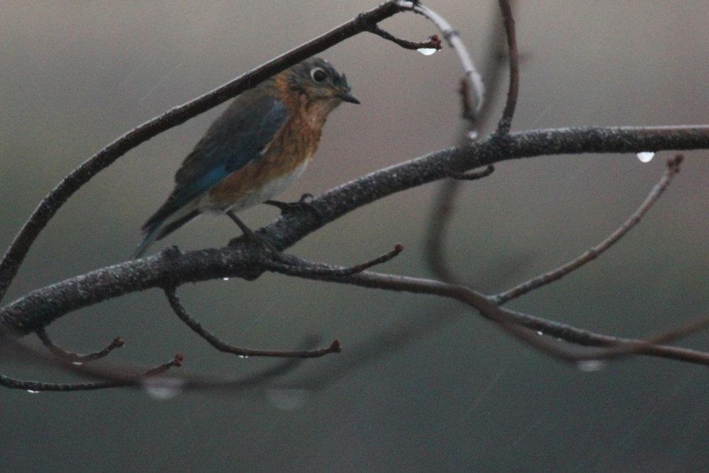 Eastern Bluebird / 13 Jan / Windsor Woods (Private Residence)