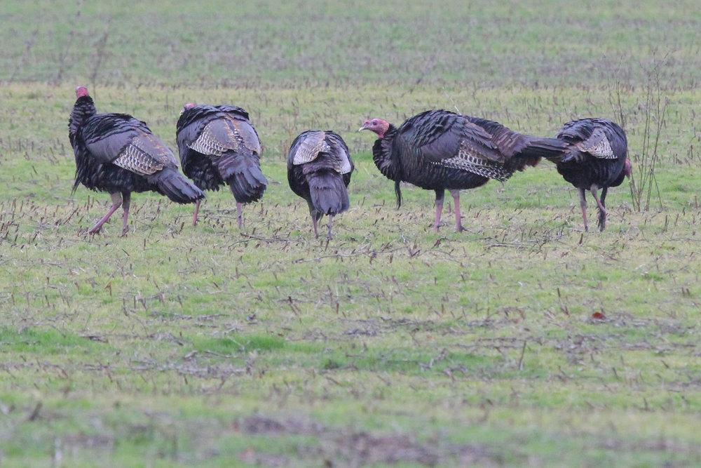 Wild Turkeys / 13 Jan / Ives Road
