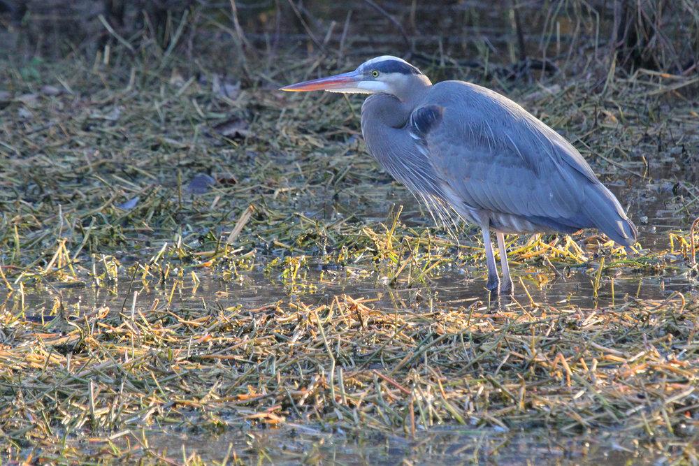 Great Blue Heron / 16 Jan / Stumpy Lake NA