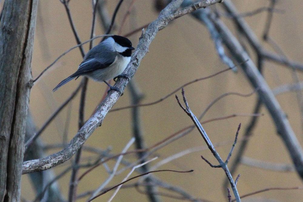Carolina Chickadee / 16 Jan / Stumpy Lake NA