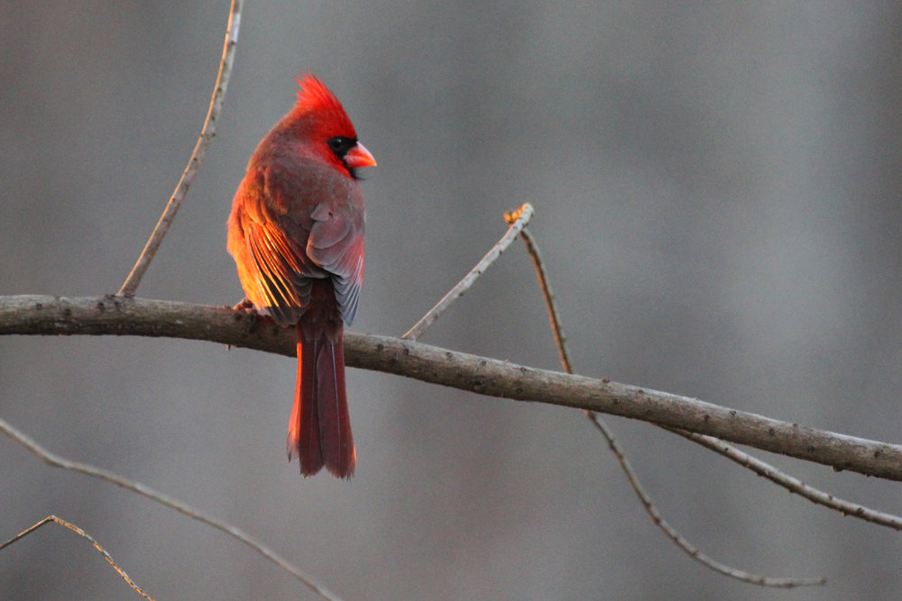 Northern Cardinal / 16 Jan / Stumpy Lake NA