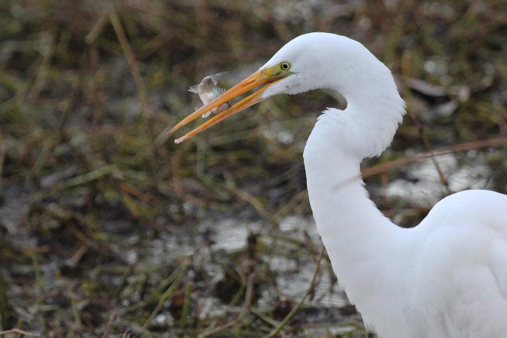 Great Egret / 16 Jan / Stumpy Lake NA