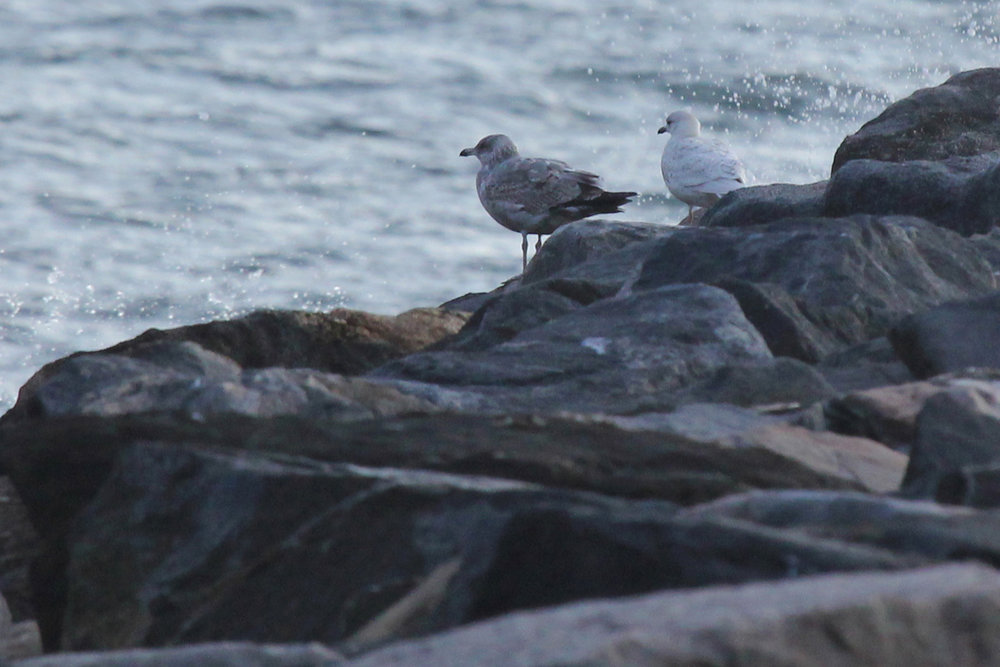 Iceland & Herring Gull / 17 Jan / Rudee Inlet