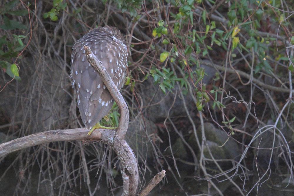 Black-crowned Night-Heron / 17 Jan / Middle Lake Holly