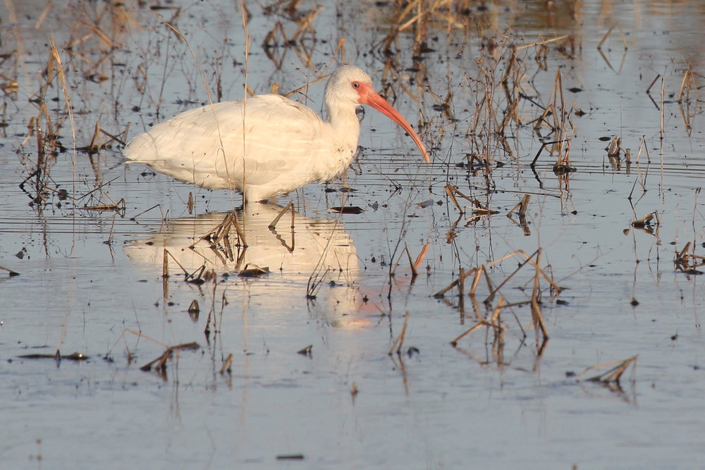White Ibis / 27 Jan / Princess Anne WMA Whitehurst Tract