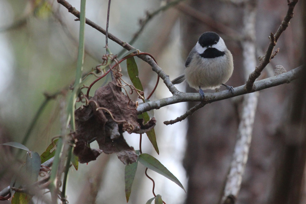 Carolina Chickadee / 27 Jan / Princess Anne WMA Beasley Tract