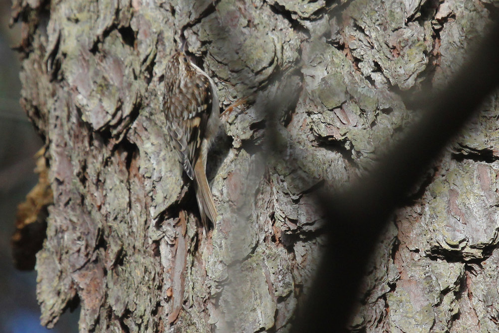 Brown Creeper / 27 Jan / Princess Anne WMA Beasley Tract