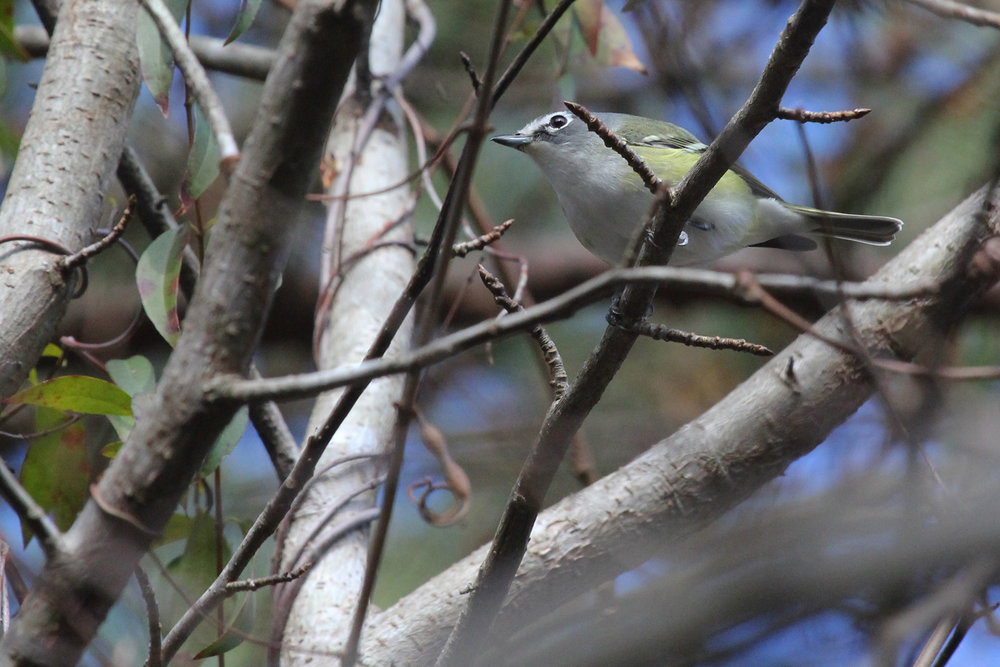 Blue-headed Vireo / 27 Jan / Princess Anne WMA Beasley Tract