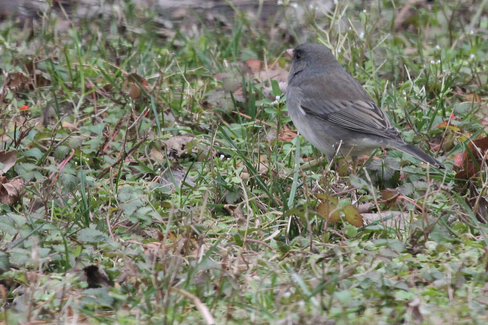 Dark-eyed Junco (Slate-colored) / 29 Jan / North Landing Rd.