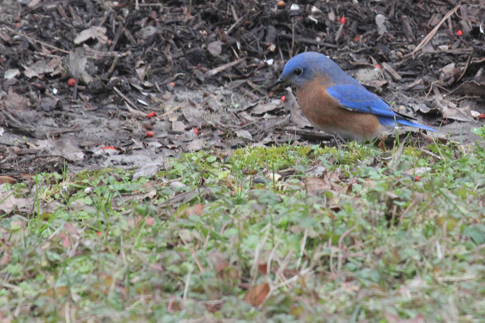 Eastern Bluebird / 29 Jan / North Landing Rd.