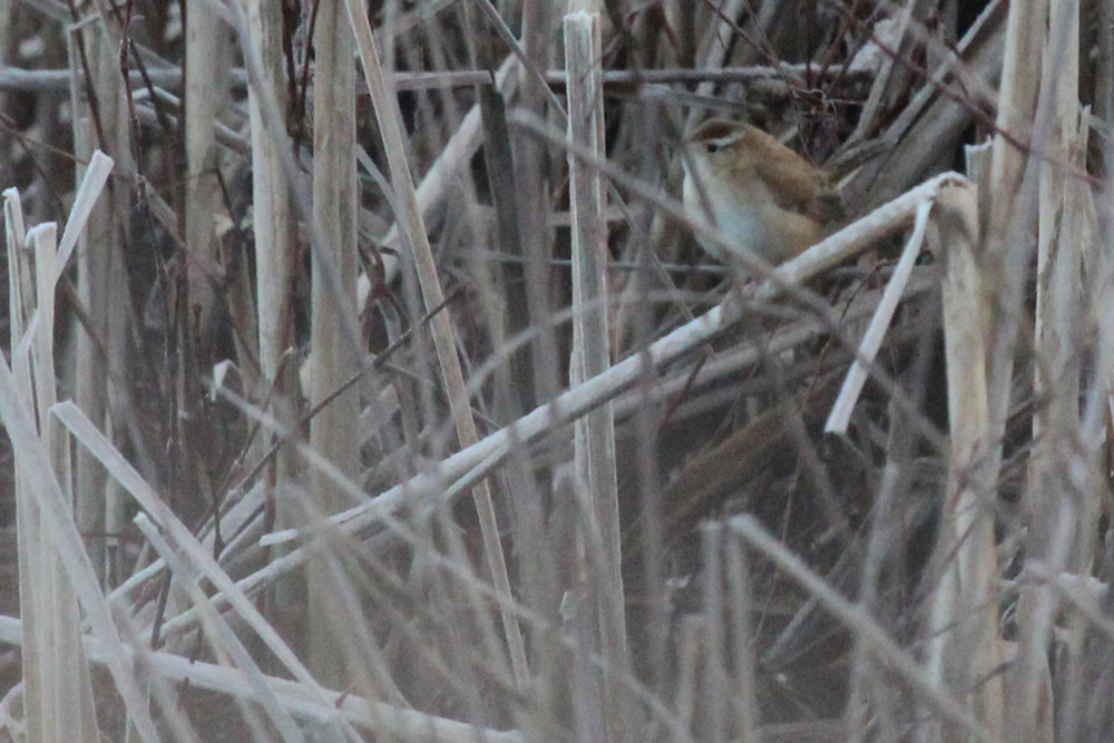 Marsh Wren / 27 Jan / Princess Anne WMA Beasley Tract