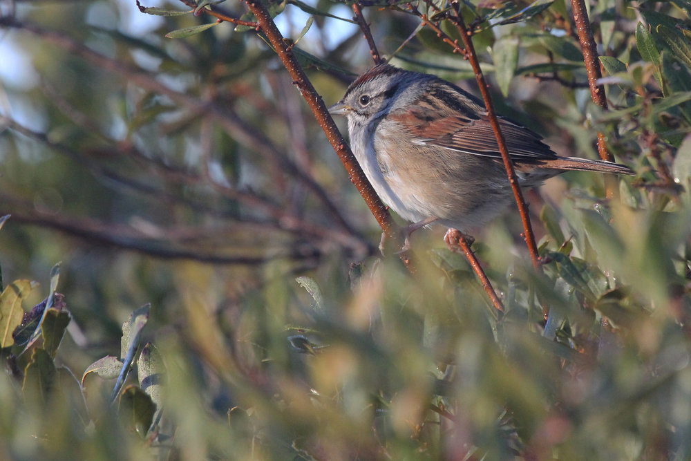 Swamp Sparrow / 27 Jan / Princess Anne WMA Whitehurst Tract