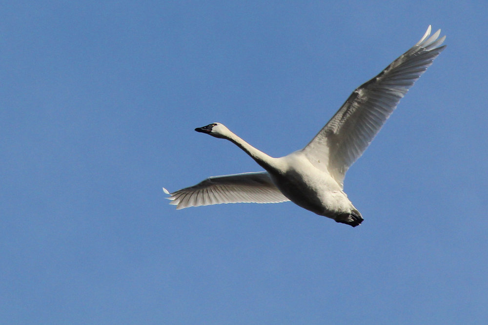 Tundra Swan / 27 Jan / Princess Anne WMA Whitehurst Tract