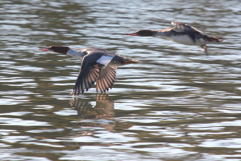Common & Red-breasted Merganser / 2 Feb / Pleasure House Point NA