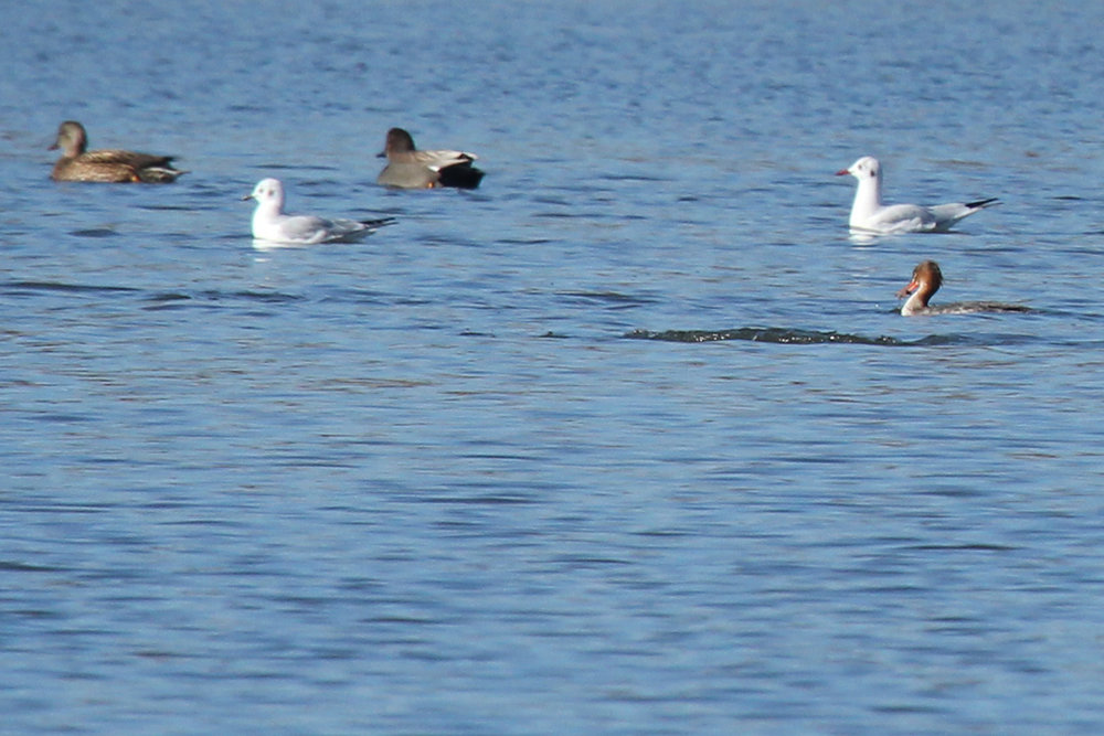 Gadwall, Bonaparte's Gull, Black-headed Gull & Red-breasted Merganser / 2 Feb / Pleasure House Point NA
