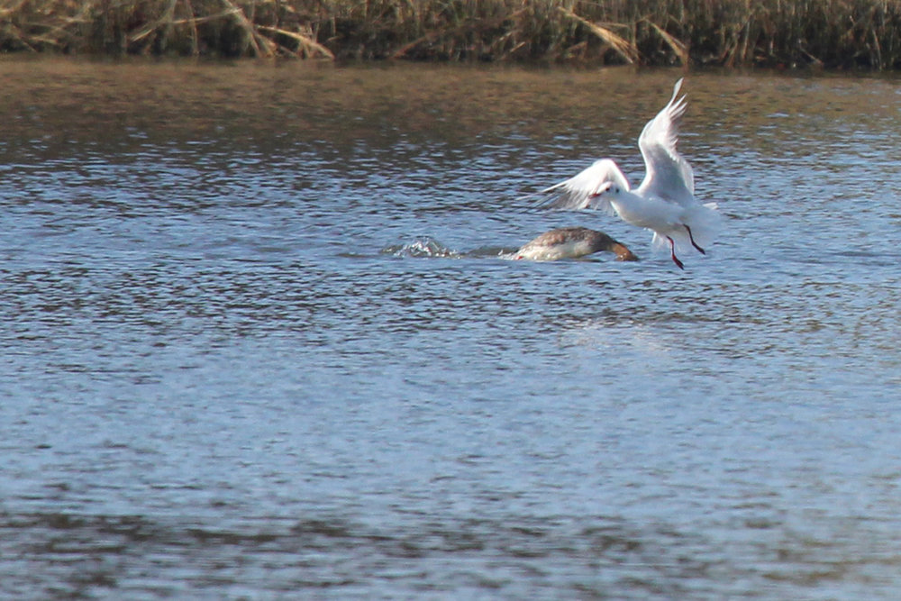 Red-breasted Merganser & Black-headed Gull / 2 Feb / Pleasure House Point NA