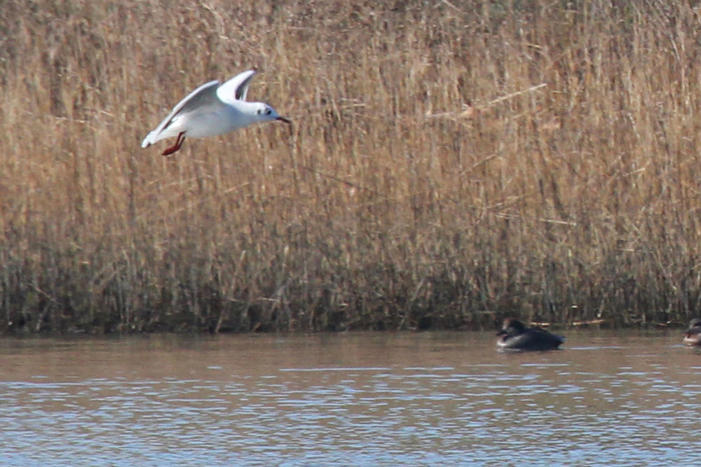 Black-headed Gull & Gadwall / 2 Feb / Pleasure House Point NA