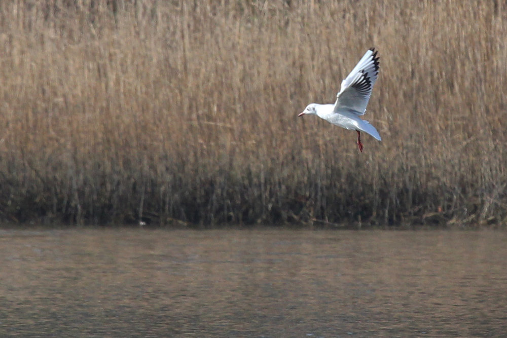 Black-headed Gull / 2 Feb / Pleasure House Point NA