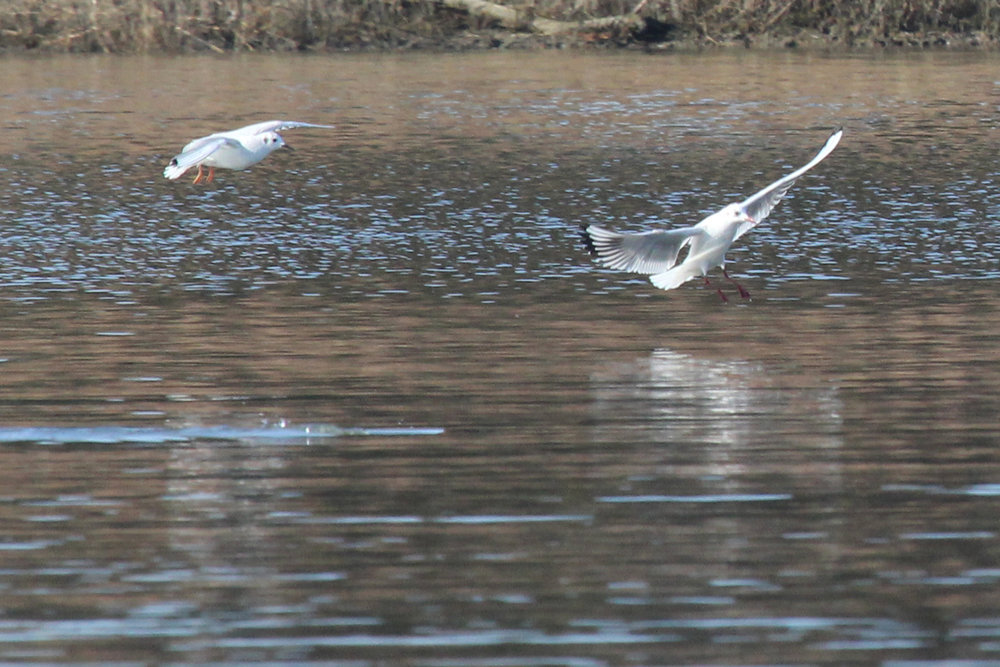 Bonaparte's & Black-headed Gull / 2 Feb / Pleasure House Point NA