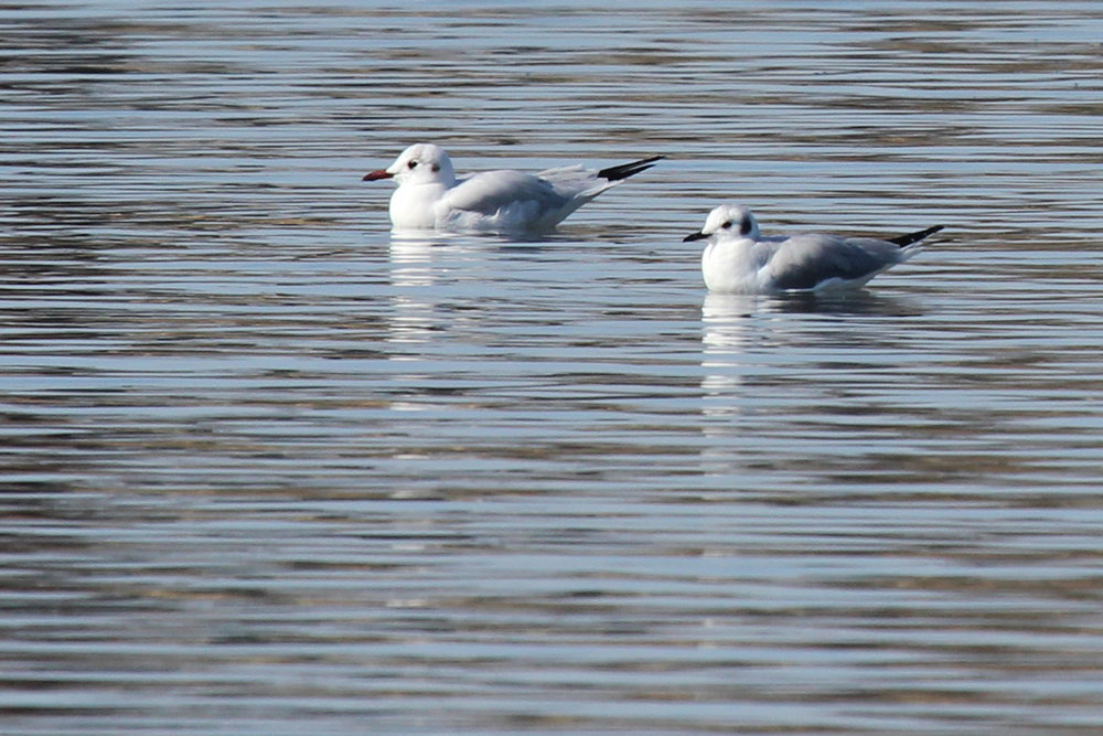 Black-headed & Bonaparte's Gull / 2 Feb / Pleasure House Point NA