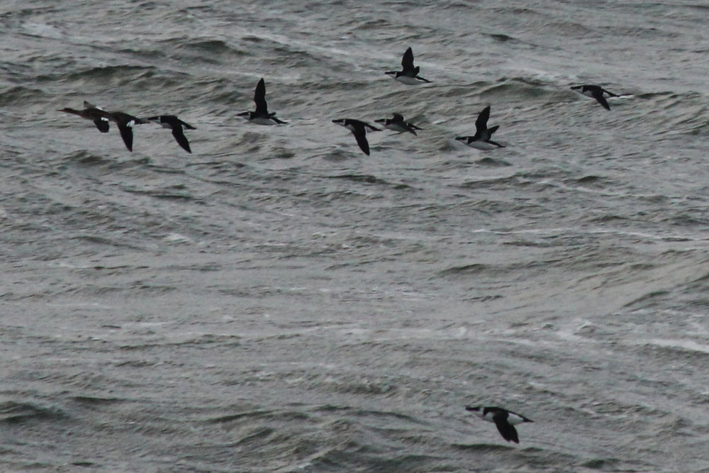 Red-breasted Mergansers & Razorbills / 9 Feb / Little Island Park