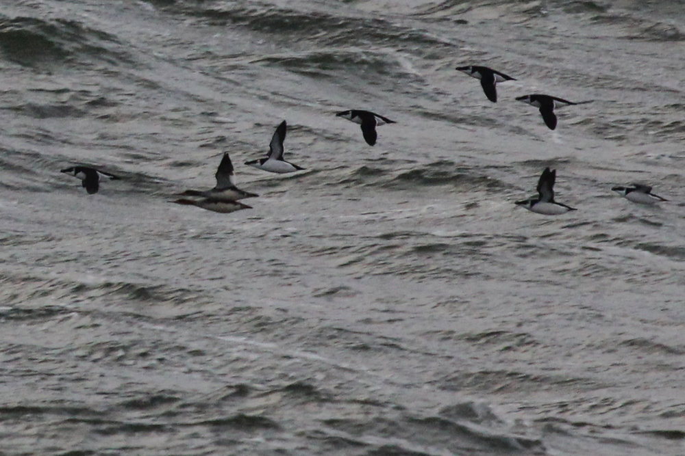Razorbills & Red-breasted Mergansers / 9 Feb / Little Island Park