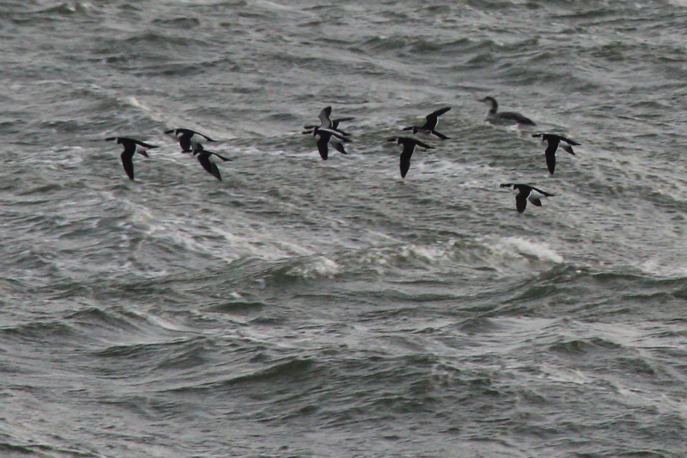 Razorbills & Common Loon / 9 Feb / Little Island Park