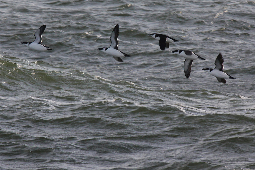 Razorbills / 9 Feb / Little Island Park