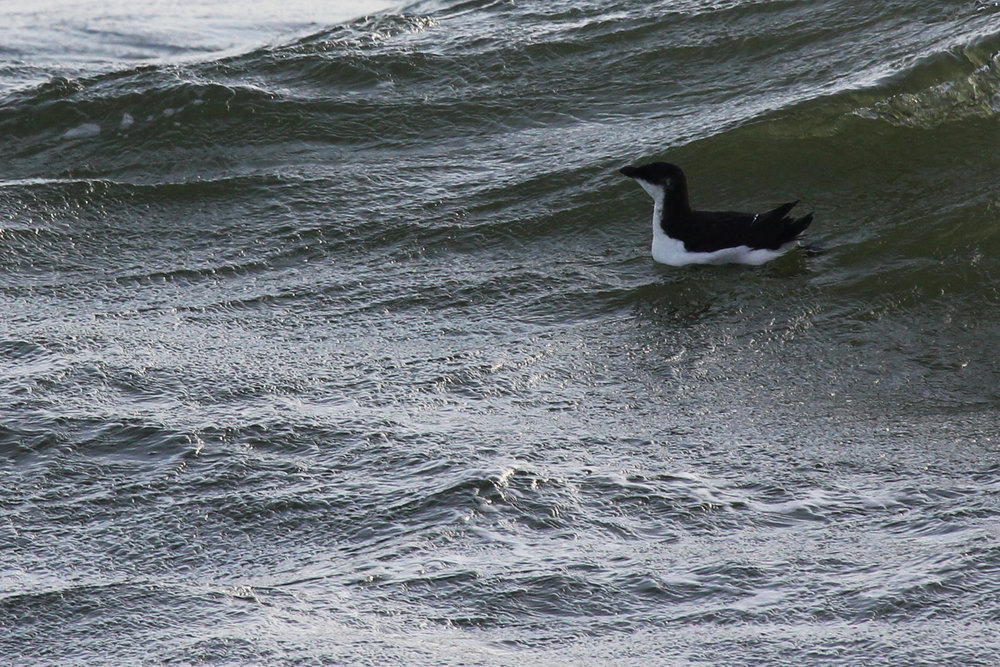 Razorbill / 9 Feb / Little Island Park