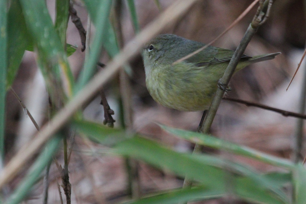 Orange-crowned Warbler / 1 Feb / Stumpy Lake NA