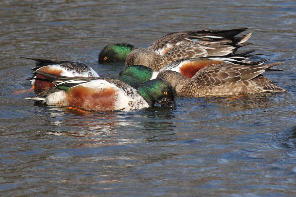 Northern Shovelers / 1 Feb / Kings Grant Lakes