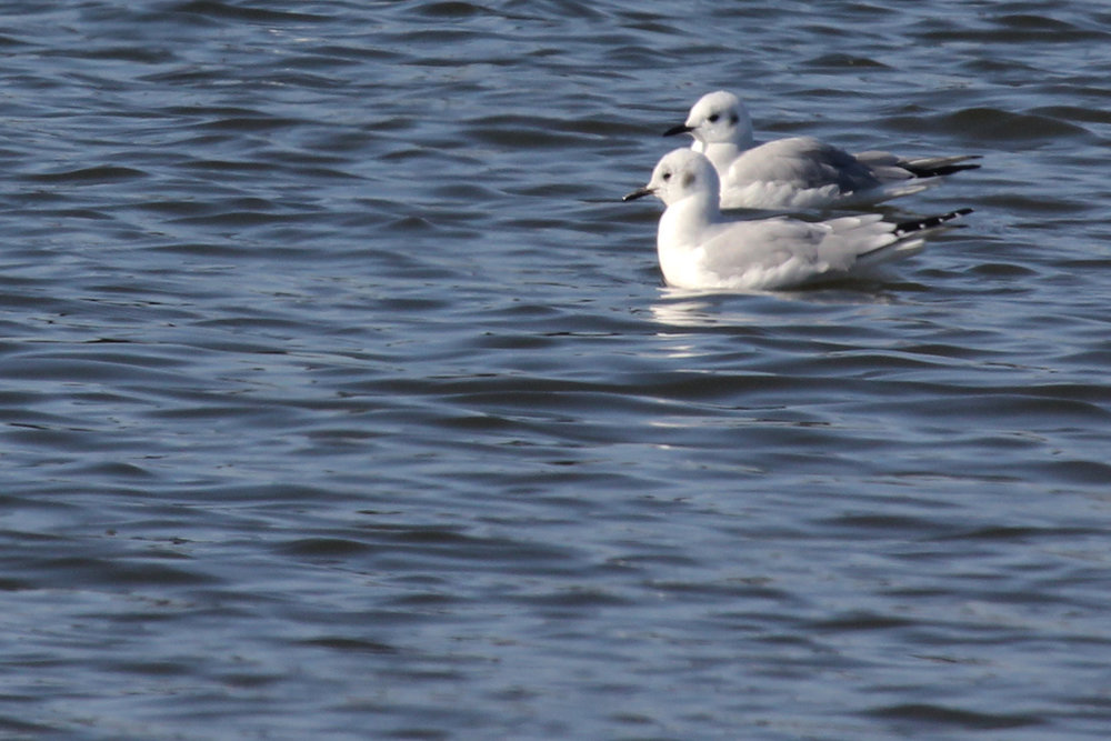 Bonaparte's Gulls / 2 Feb / Pleasure House Point NA