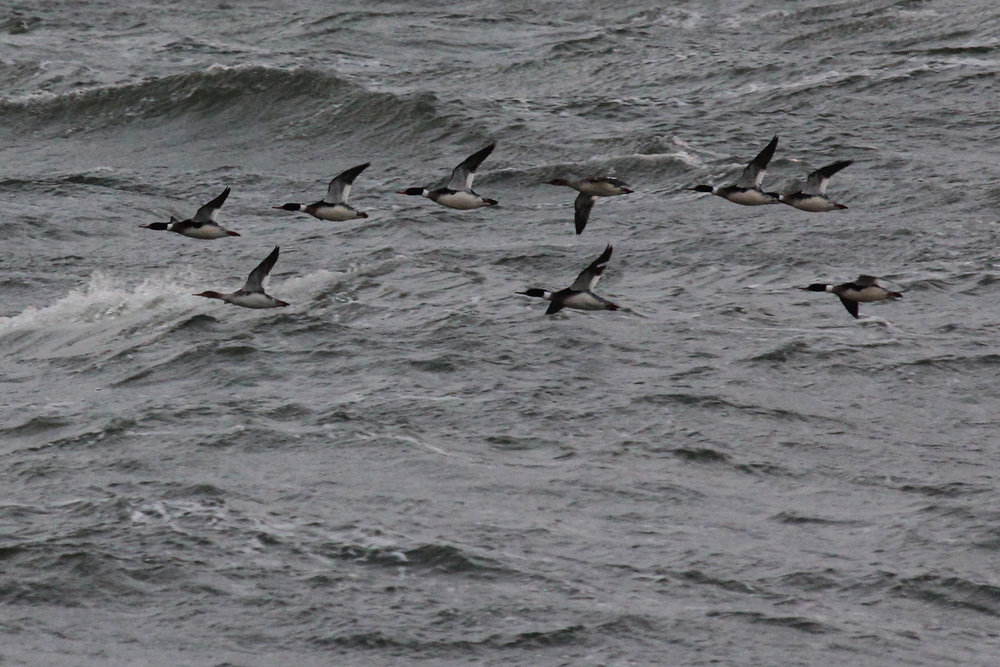Red-breasted Mergansers / 9 Feb / Little Island Park