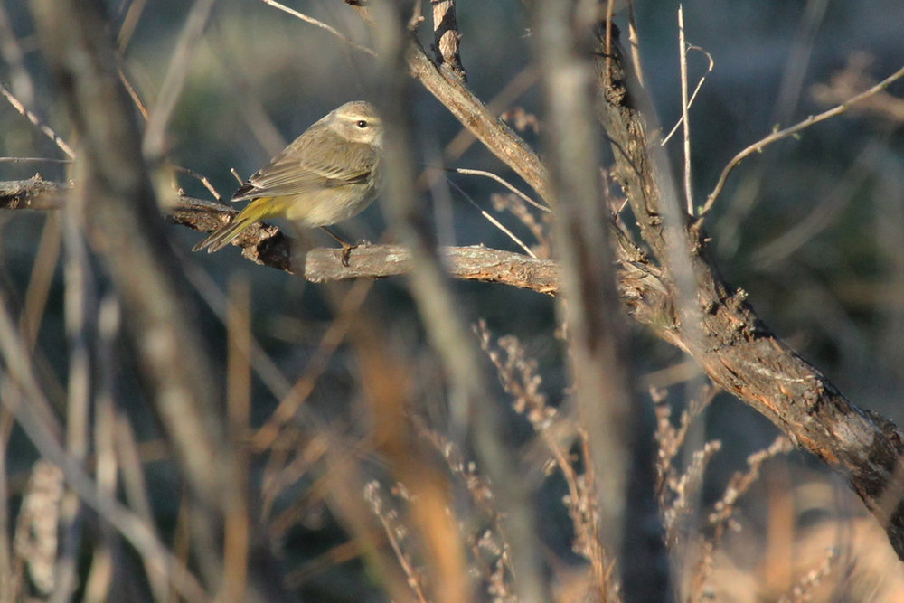 Palm Warbler (Western) / 10 Feb / Princess Anne WMA Whitehurst Tract
