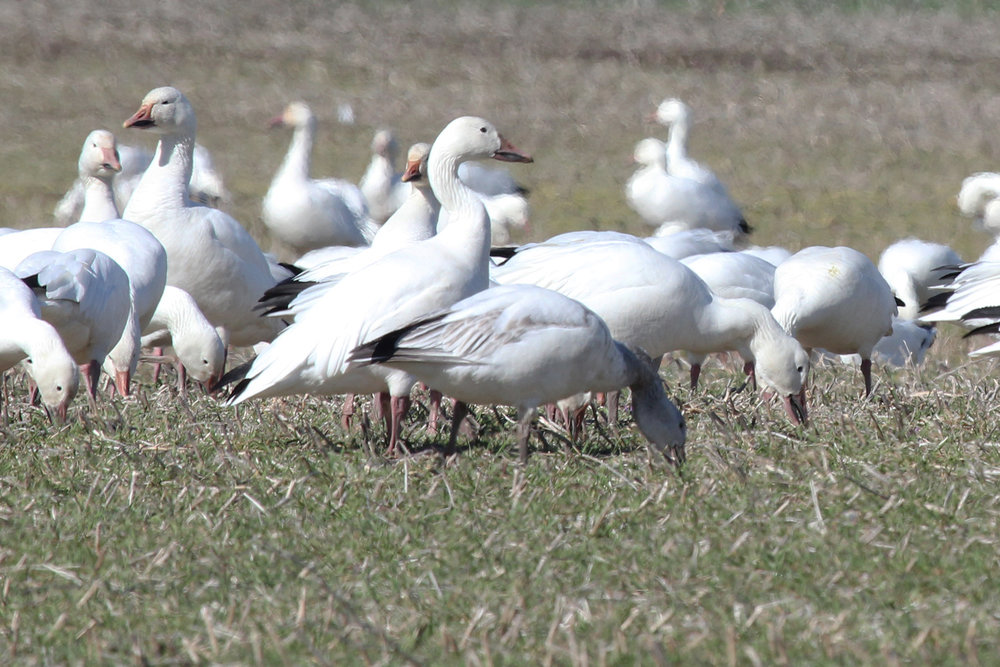 Snow Geese / 10 Feb / Muddy Creek Rd.
