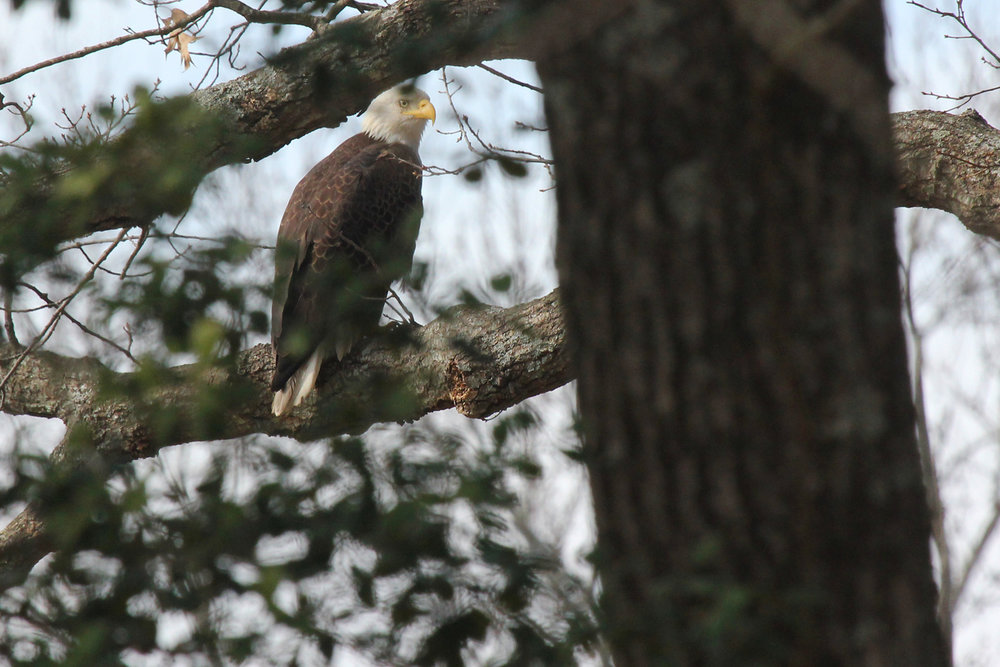 Bald Eagle / 1 Feb / Kings Grant Lakes