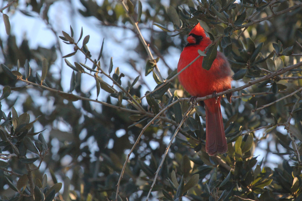 Northern Cardinal / 2 Feb / Pleasure House Point NA