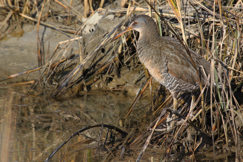 Clapper Rail / 2 Feb / Pleasure House Point NA