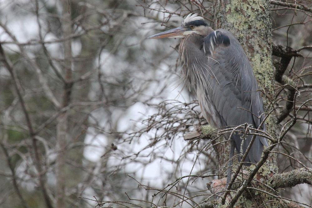 Great Blue Heron / 1 Feb / Stumpy Lake NA
